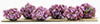 CABPL14 - Border Plant: Burgundy-Mauve, Large, 6 Pieces